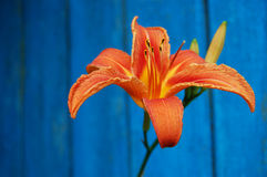 An orange flower on a contrast blue background. orange lily. Royalty Free Stock Photos
