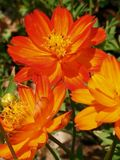 Orange flower. Cosmos orange flowers in thai public garden Stock Photography