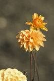 Orange flower dahlia Royalty Free Stock Images