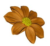 Orange  flower dahlia on white isolated background with clipping path.  No shadows. Closeup. Royalty Free Stock Photos