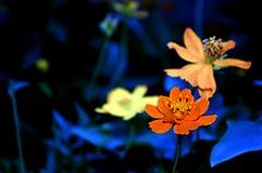Orange flower. On dark black burred background Stock Image