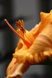 Orange flower of a day lily. Side view of a bright orange flower of a day lily. It is contrastly allocated against in grey tones Stock Photos