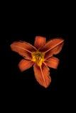 Orange flower - daylily Stock Image