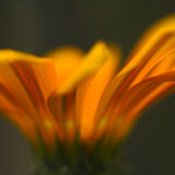 Orange Flower Details. A closeup view of the structure of an orange flower Stock Photos