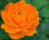Orange flower with dew drops Royalty Free Stock Photography