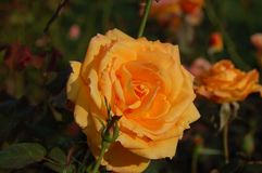 Orange flower in early evening royalty free stock images