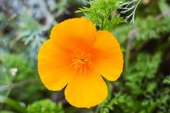 Orange flower Eschscholzia californica or California poppy. Orange flower Eschscholzia californica California poppy, Californian poppy, golden poppy, California stock photo