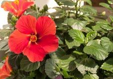 Orange flower with five petals Stock Photos