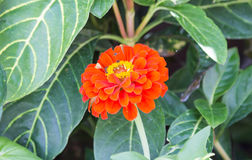 Orange flower. Flowers in the front garden Royalty Free Stock Photography
