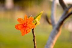 Orange  flower. Flowers  park  season  spring Royalty Free Stock Photo