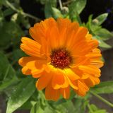Orange flower with dew. Orange flower with fresh green leaves and morning dew Royalty Free Stock Images