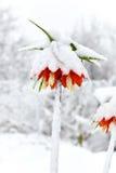 Orange flower Fritillaria imperiali under snowfall Stock Image