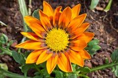 Orange flower full of polen Stock Photography