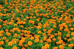 Orange flower in the garden. Many orange flower in the garden Royalty Free Stock Photos