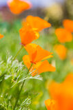 Orange flower in garden Stock Image