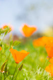 Orange flower in garden Royalty Free Stock Photography