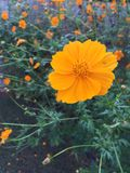 Orange flower. Flower in the garden royalty free stock photo