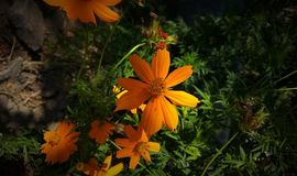 Orange flower in the garden backgrounds. Beautiful orange flower under the sunlight on green background Stock Photos