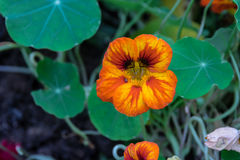 Orange flower. Orange flower in the garden. Bright blooming Stock Images