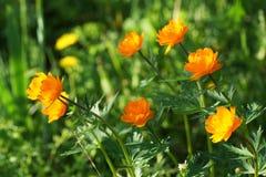 Orange flower in the garden. Stock Photos
