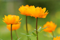 Orange flower in the garden. Close up royalty free stock image