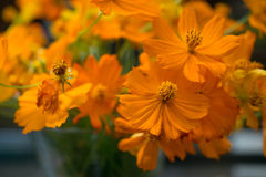 Orange Flower In Garden Royalty Free Stock Photos