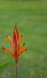 Orange flower in garden Stock Photos