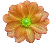 Orange flower garden, white  isolated background with clipping path.  Closeup. Stock Images