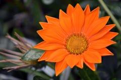 Orange flower. Gazania in the garden Royalty Free Stock Images