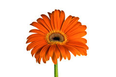Orange  flower of gerbera Royalty Free Stock Photography