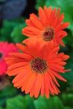 Orange flower gerbera closeup on tree in garden . Stock Photos