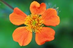 Orange flower Geum coccineum 'Borisii Stock Photo