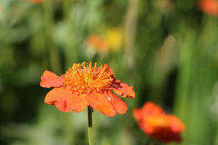 Orange flower of a geum in dew drops in a garden Stock Photography