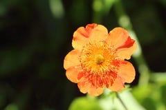 Orange flower of a geum Stock Photos
