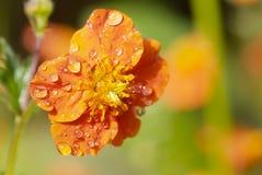 Orange flower of Geum quellyon Stock Photo