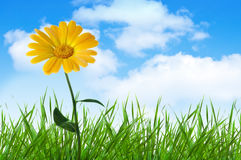Orange  flower in grass. Under blue sky with clouds Stock Photos