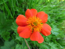Orange flower in the grass on the meadow Stock Image