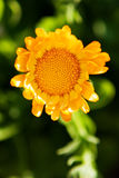 Orange flower on a green Royalty Free Stock Images