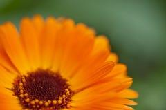 Orange flower on green background. Orange flower on a green background - close-up Royalty Free Stock Photography