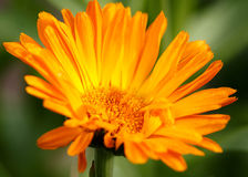Orange flower green background Royalty Free Stock Images