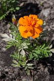 Orange flower with green grass Royalty Free Stock Photo