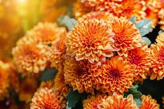 Orange flower and green leaf in garden at sunny summer or spring day for postcard beauty decoration and agriculture design.  royalty free stock image