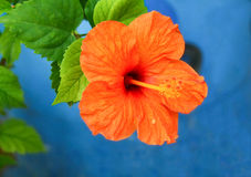 Orange flower and green leaves on blue background Royalty Free Stock Photos