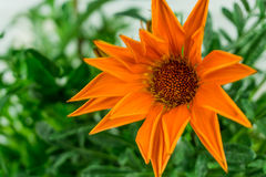Orange flower with green leaves Stock Photo