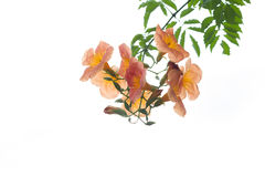 Orange flower with green leaves isolated Stock Images