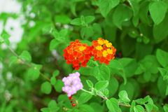Orange flower and green leaves plants Royalty Free Stock Image
