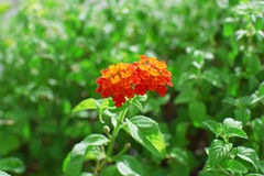 Orange flower and green leaves plants Stock Photos
