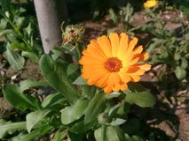 Orange Flower. With green leaves sunny Stock Photos