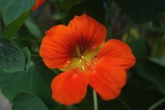 Orange flower. Greenery foils the beauty of flowers was born Royalty Free Stock Images