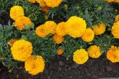 Orange flower heads of Tagetes erecta. Fom above Stock Photo